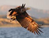 White-Tailed Sea Eagle #6