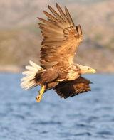 Fishing Sea-Eagle #7