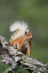 Red Squirrel #4