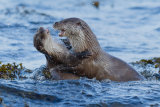 Young dog otters fighting