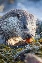 Dog otter eating catch
