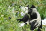 Colobus monkey eating