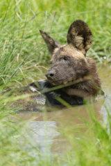 Wild dog taking a bath