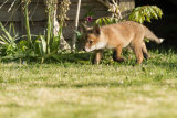Fox cub stalking