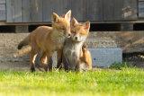 Fox cubs at play