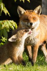Fox cub pesters mother