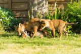 Fox Cub Fight