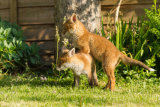 Fox cub hitching a ride