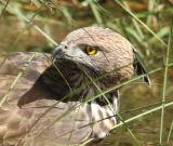 Crested Serpent Eagle #2