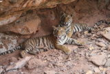 Tiger cubs in cave