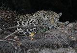Jaguar sleeping