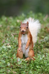 Red Squirrel #6