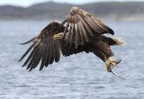 Fisging Sea Eagle #10