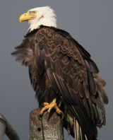 Bald Eagle dark background