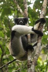 Indri #2