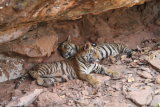 Two tigers in cave