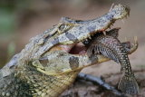 Caiman with fish