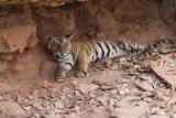 Tiger cub in cave