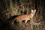 Genet out hunting