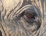 Elephant tear