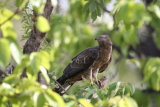 Oriental honey buzzard
