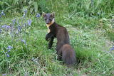 Pine Marten in Bluebells