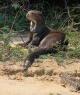 Giant River Otter on beach