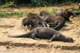 Group of lazy Giant River Otters