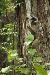 Common Brown Lemur #2