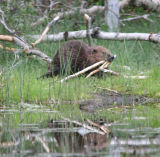 Beaver with food