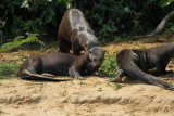 Group of Giant River otters