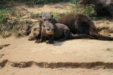 Giant River Otter with young