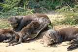 Young Giant River Otter nursing
