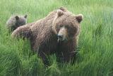 Bear sow