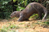 Giant River Otter scenting