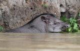 Tapir mother