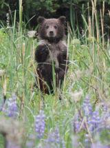 Bear cub in lupins
