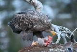 White-tailed Sea Eagle #2