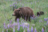 Bear in lupins