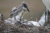 Jabiru chick