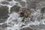 Unst Otters December 2016 & November 2019
