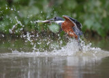Amazon kingfisher catching fish