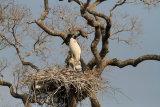 Jabiru on nest