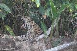 Yawning jaguar