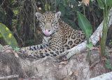 Jaguar licking lips
