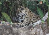 Jaguar washing