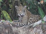 Jaguar sneering