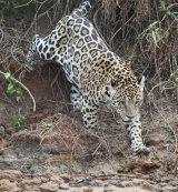 Jaguar climbing