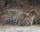 Jaguar enters river