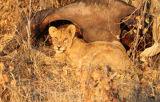 Lion cub with buffalo kill